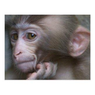 Baby monkey staring. postcards