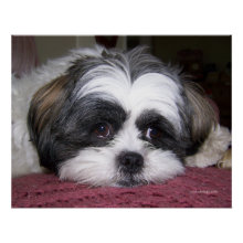 Belle The Shih Tzu Dog Posters