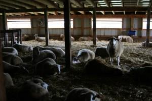 sheep-indoor