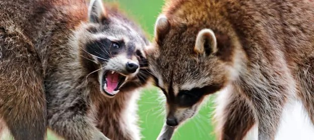 Photo of arguing raccoons