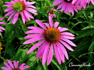 Purle Coneflower