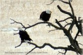 Bald Eagles Visiting Roberts' Roost Country Guest House January 11th 2015