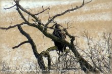 Juvenile Bald Eagle Visiting Roberts' Roost Country Guest House January 11th 2015