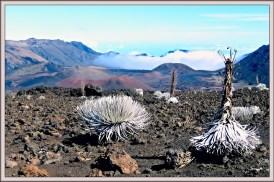 silver swords Maui