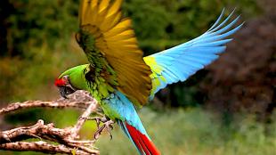 Military Macaw (foto Ger Bosma)