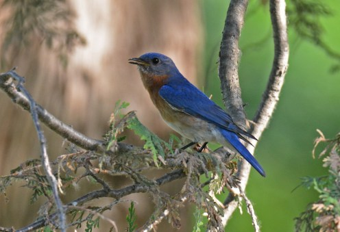 Eastern Bluebird - Mt. Hope Cemetery - © Dick Horsey - June 26, 2016