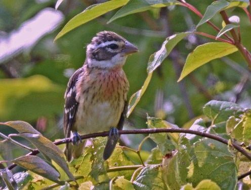 Rose-breasted Grosbeak (Juv) - Hamlin Beach Park - © Dick Horsey - Aug 19, 2016