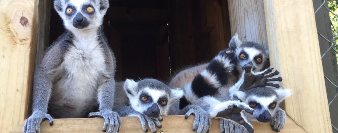 Ring-tailed Lemurs!