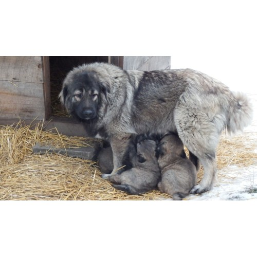 Medium Crop Of Russian Mountain Dog