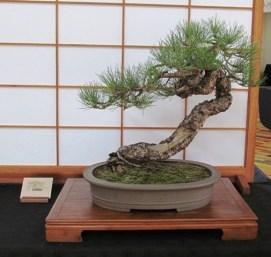 076_ponderosa_pine