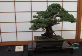 Colorado Blue Spruce - Voted BCI Magazine 50 Best Trees