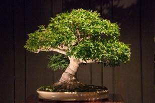 Courtesy of Jonas Dupuich - Japanese maple 'Shishigashira'