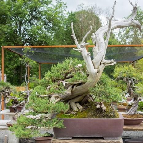 Rocky mountain juniper