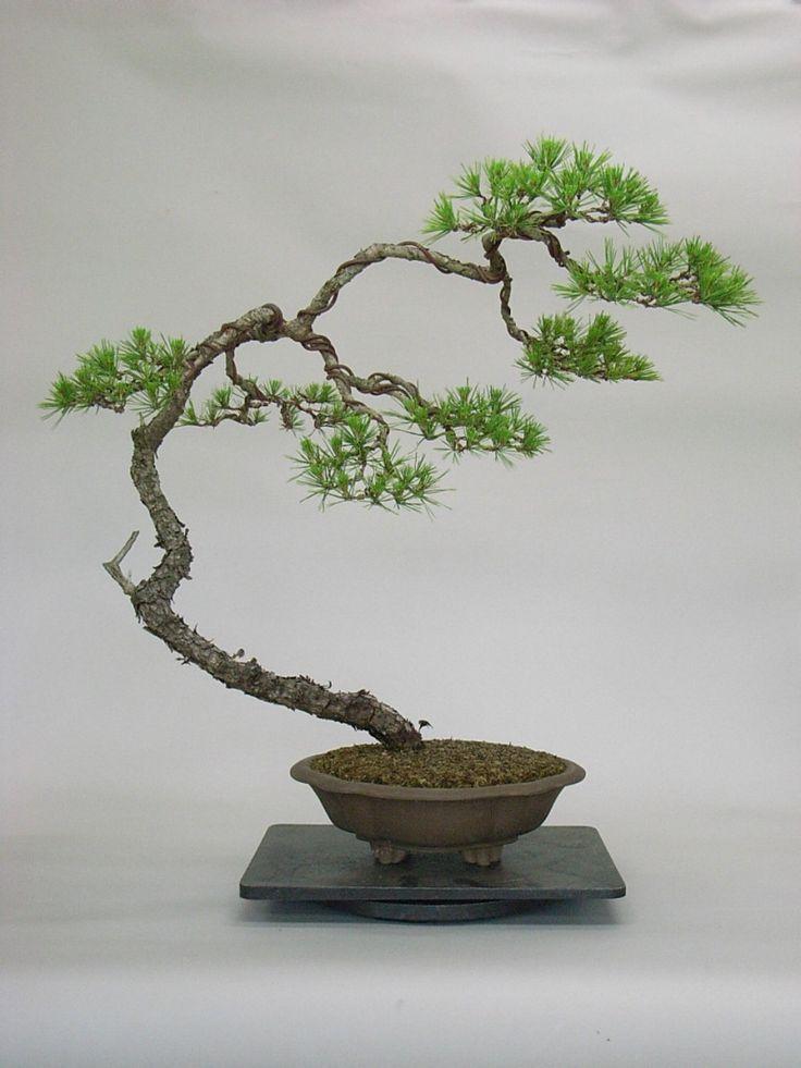 Literati or bunjin colorado rocky mountain bonsai suiseki for Literati bonsai gallery