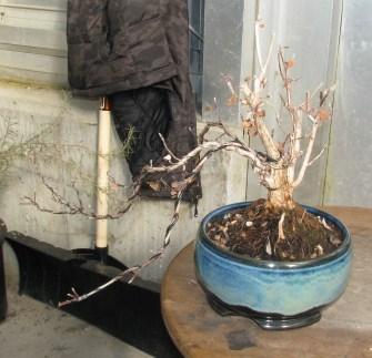 Jamesia americana (Cliffbush; Waxflower; Five Petal Cliffbush)