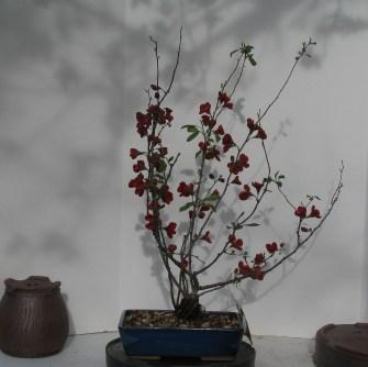 04-10-2017 Chaenomeles Quince 'Kurokoji'