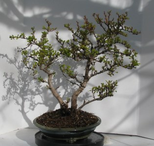04-10-2017 BERBERIS thunbergii (BONANZA GOLD) Bonsai