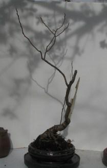 2017 Spring Rhus copallina 'Lanham's Purple'