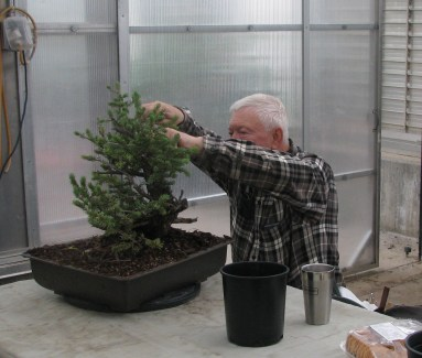 Bob checking his Blue Spruce