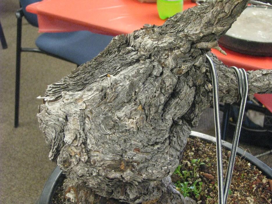 Ponderosa Pine Bonsai Bark