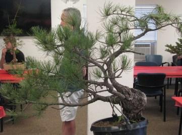 Ponderosa Pine Bonsai Back Side