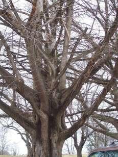 Metasequoia Glyptostroboides Dawn Redwood Bonsai 2012