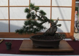 Lodgepole Pine 10 Years in Training