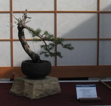 Colorado Blue Spruce 1 Year in Training