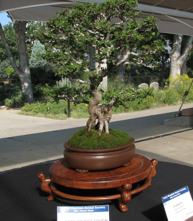 Chinese Elm 23 Years in Training