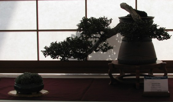 Chinese Elm 15 Years in Training