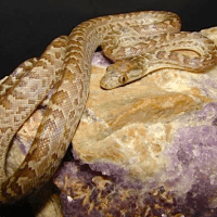 ABACO ISLAND BOA: THE ONLY ABACO SNAKE