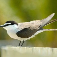 'ANOTHER GOOD ONE': BRIDLED TERN ON ABACO