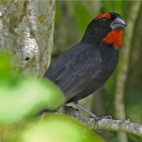 "GREATER ANTILLEAN BULLFINCH: ABACO'S ""POLICE BIRD"""
