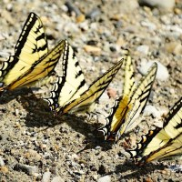 BUTTERFLIES ON ABACO (6): FOCUS ON SWALLOWTAILS