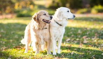 Two Golden Retriever Dogs Outdoors in Fall