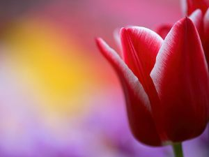 32wallcoo.com_Tulip_flower_wallpaper_0826