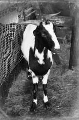 Picture of a South African Indigenous Veld Goat