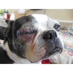 Small Crop Of Dog Eye Swollen