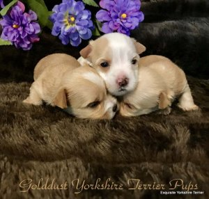 golddust yorkies for sale, golddust yorkshire terrier puppies, golddust yorkies for sale, golddust biewer puppies, golddust puppy for sale, golddust yorkie puppy for sale, golddust yorkies for sale in va, golddust puppies for sale in wv, golddust puppies for sale md, yorkie puppies for sale va, yorkie puppies for sale, gold ee yorkie puppies for sale
