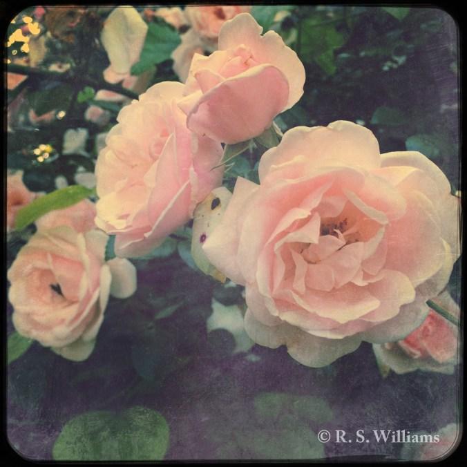 OldRoseInBloom_COPY_2016-05-13