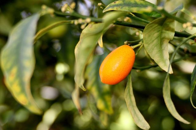10. Small gold elongated oranges native to China called Kumquat. There can be direct with a crust, and tastes like sour tangerine. Fruit can be grown as a houseplant. Kumquat is rich in vitamins C, P, and B-group. Drinking kumquat helps relieve depression, stress, symptoms of colds and hangovers.