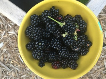 Blackberries in the Bowl