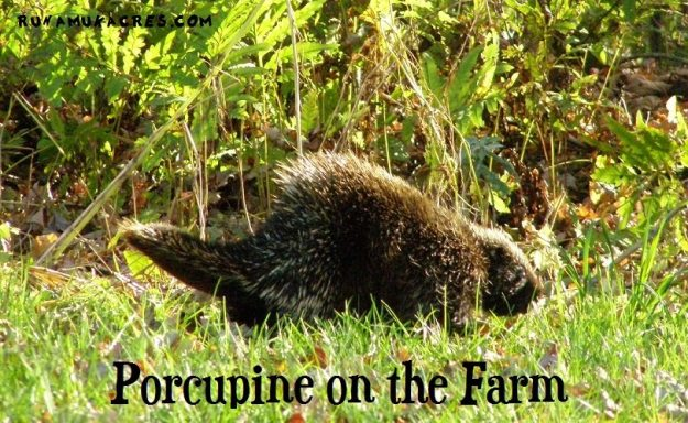 problems with porcupine on the farm