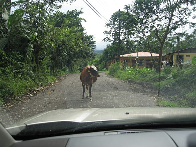 cow in the road Thanksgiving in Costa Rica