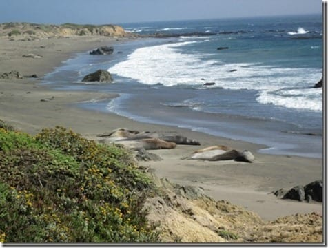 elephant seals california thumb Couch to 10 Miles