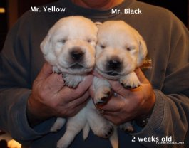 Rushwind Lab Pups