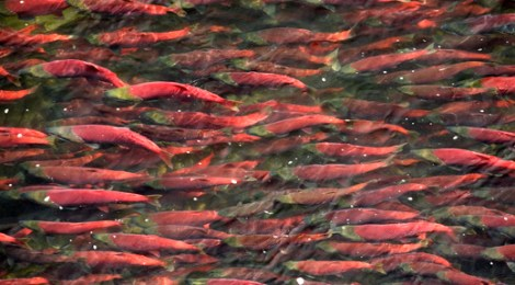 40 Million Salmon Can't Be Wrong Video