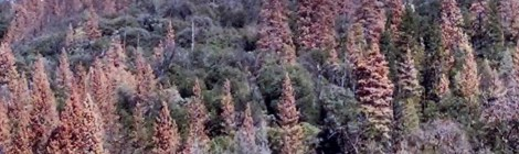 California's trees dying