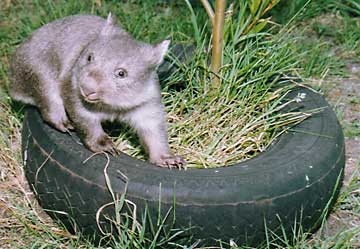 Bindi wombat at play