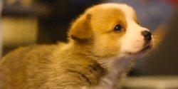 Small Of Cute Corgi Puppies